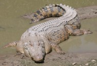 Saltwater_Crocodile (1)